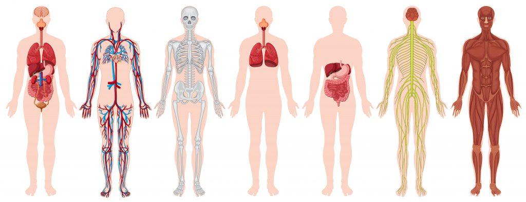 la anatomía en la quiropráctica